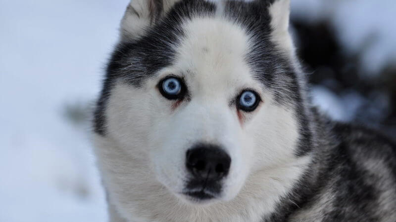Siberian Husky Blue Eyes Doesn't Have To Be Hard. Read These 5 Tips