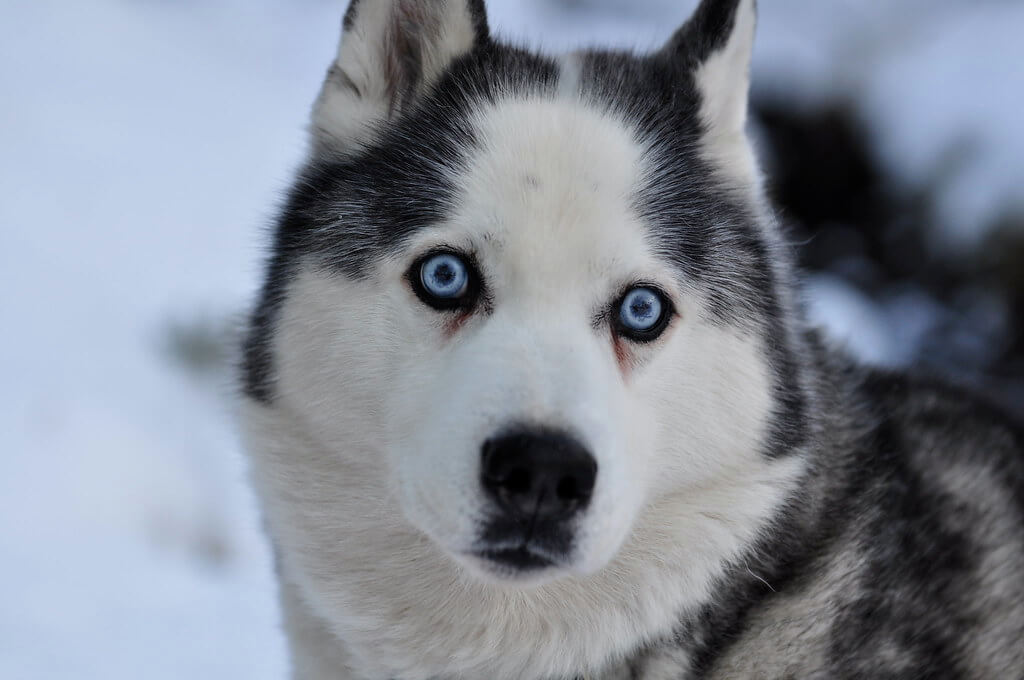 Siberian Husky Blue Eyes | What is the rarest Husky eye color?
