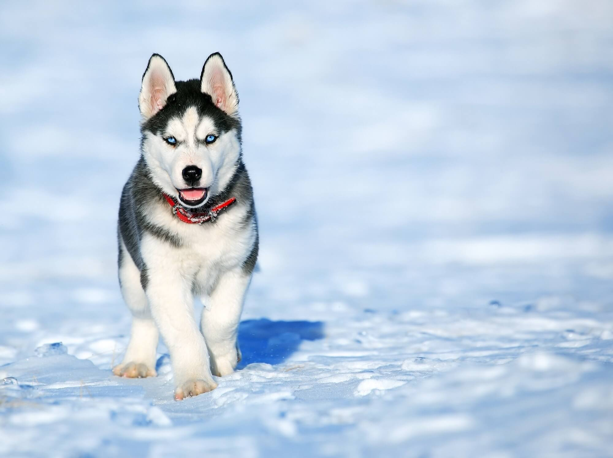 Siberian Husky Price In India / Including 7 Big Cities & States Of India