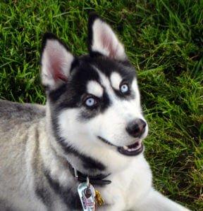 Siberian Husky Price