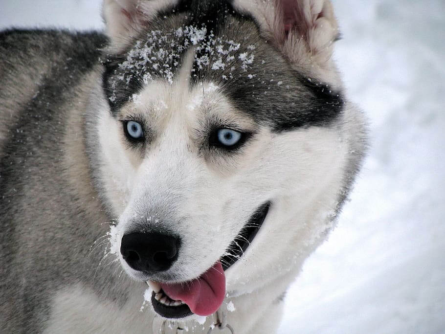 Siberian Husky Puppies – You Should Know The Life Of Great Dogs