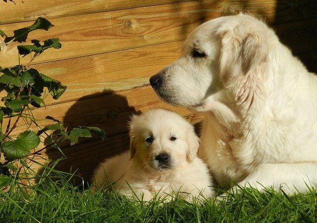 Golden Retriever Price In India | Feeding Cost | Latest 2021 Addition