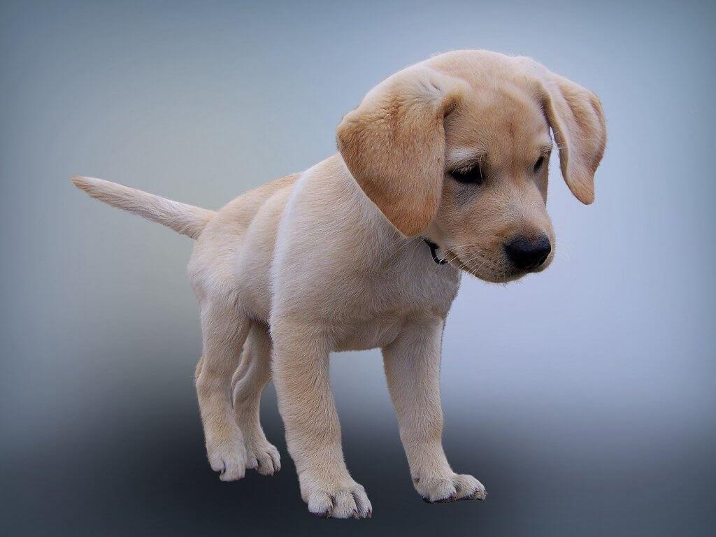Labrador Dog Price in India