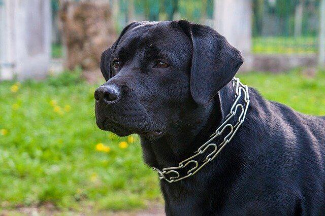 labrador dog price