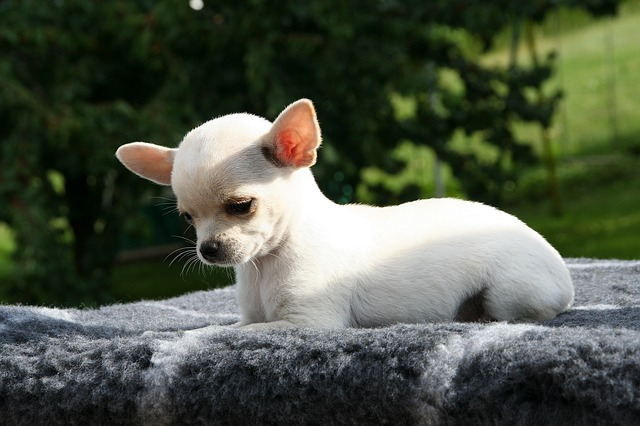 Chihuahua price in India