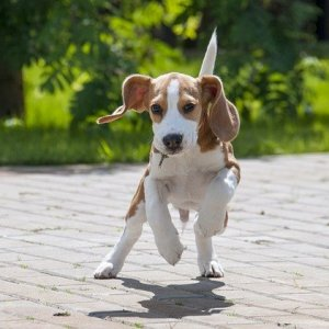 Beagle Price In India | Feeding Cost | Latest 2021 Addition