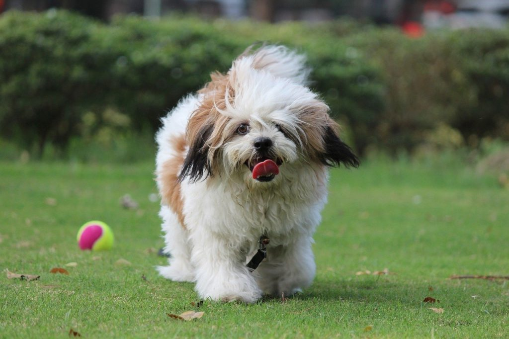 Lhasa Apso Price In India