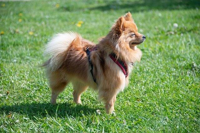 Pomeranian price