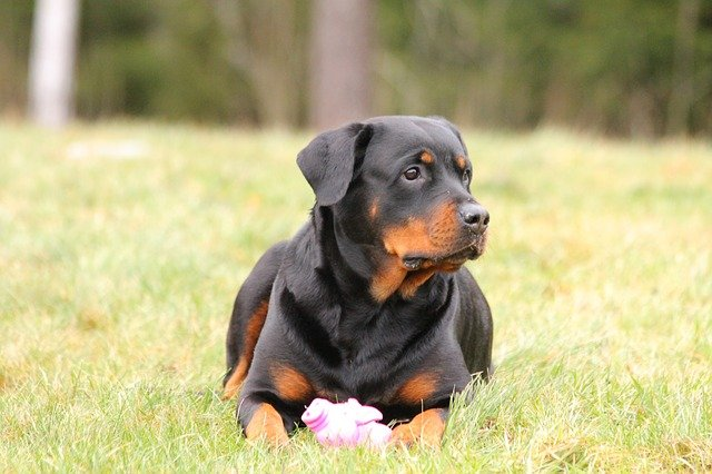 Rottweiler Price in India | Feeding Cost | Breed Attributes