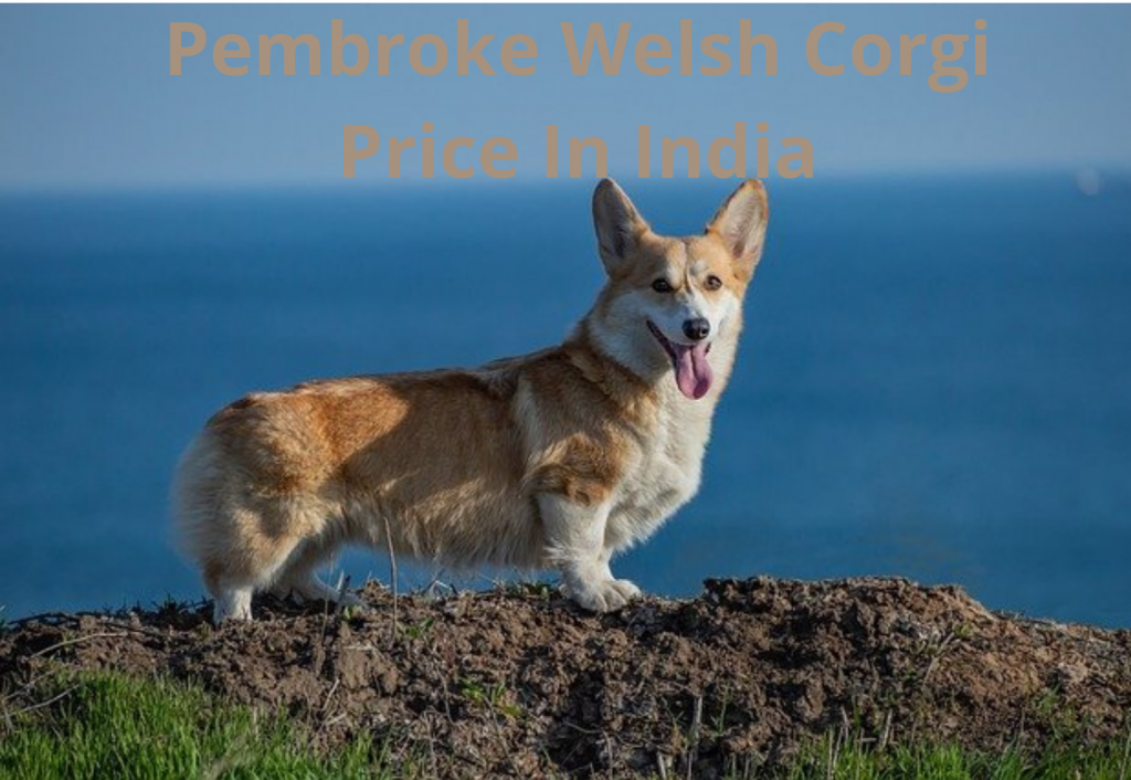 Pembroke Welsh Corgi Price In India