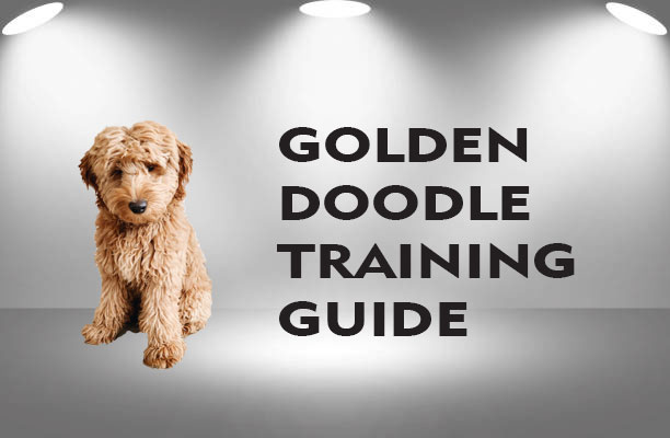 How to Train a Goldendoodle Puppy