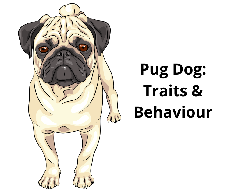 Pug Dog: Traits & Behaviour