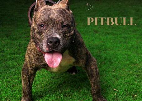 Pitbull Dog Price in India