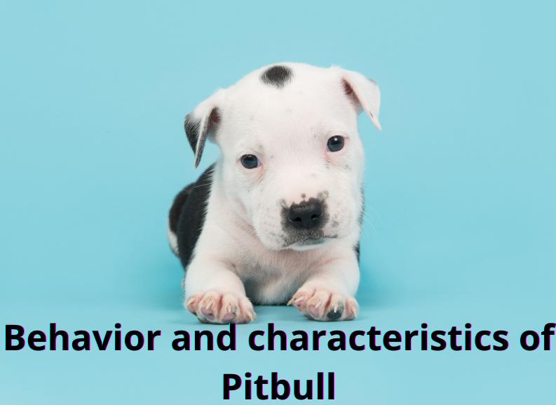Behaviour and characteristics of Pitbull