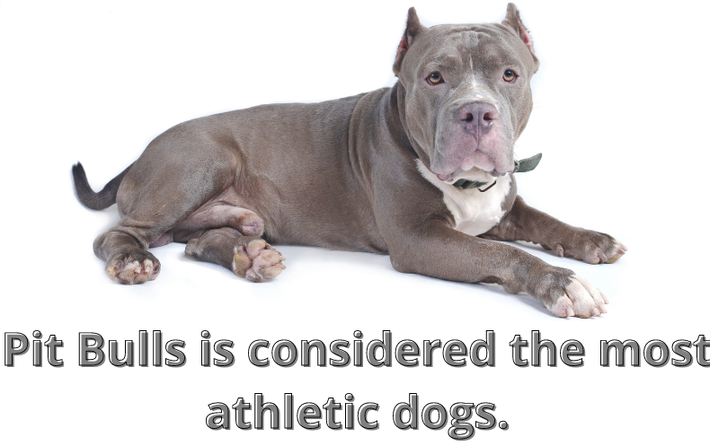 Pit Bulls is considered the most athletic dogs.