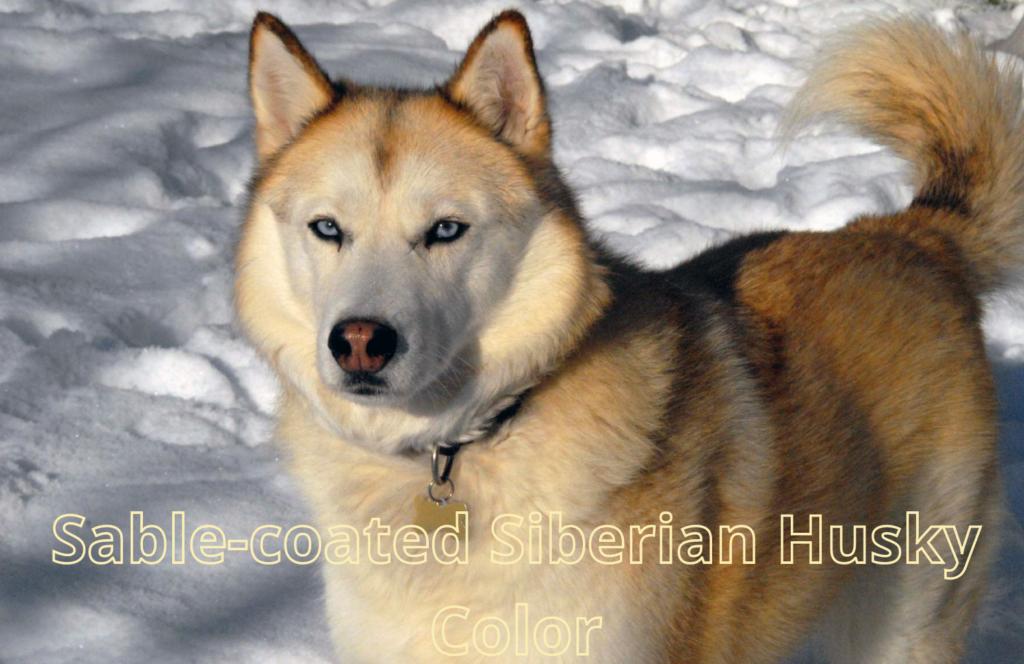 Sable-coated Siberian Husky Color