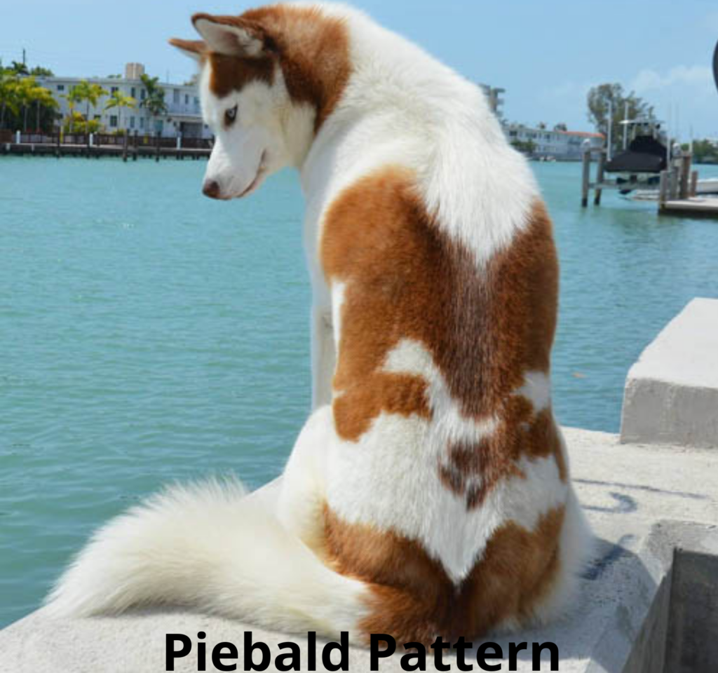 Piebald Pattern siberian husky