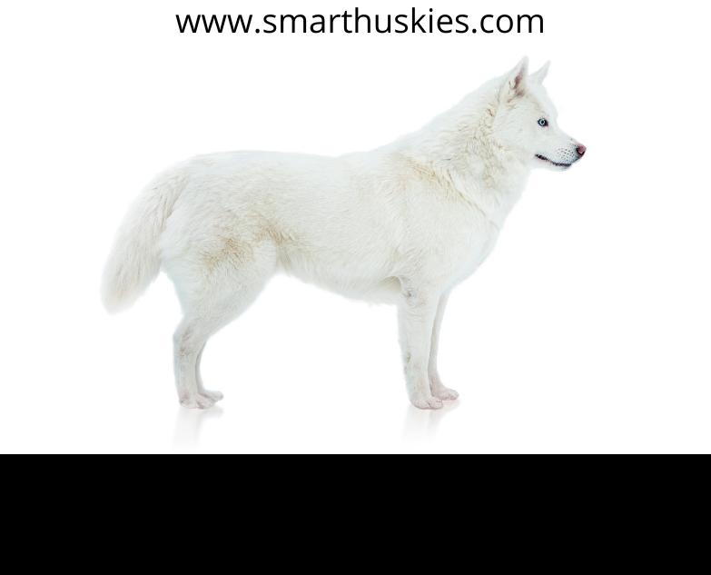 Siberian husky white color
