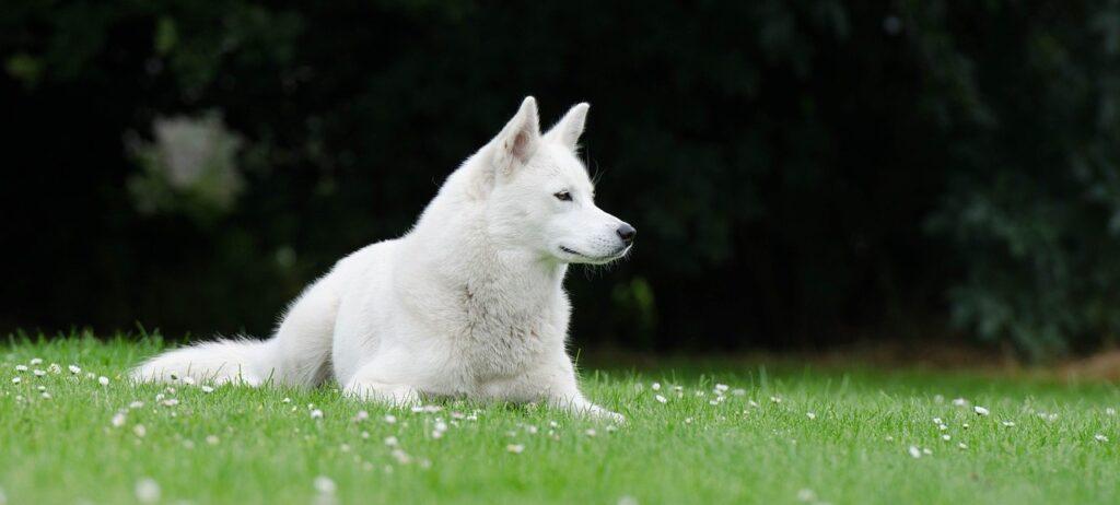 "Pure White siberian husky colors: The ""Living Snowdrift"""